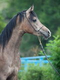Portrait of young arabian mare Royalty Free Stock Photography