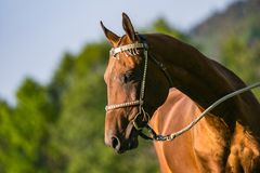Portrait of young aristocratic chestnut stallion of Akhal Teke horse. Breed standing on pasture with silver halter on, sunny spring day at a farm, green trees royalty free stock image