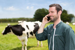 Portrait of a young attractive farmer in a pasture with cows. View of a young attractive farmer in a pasture with cows royalty free stock photo