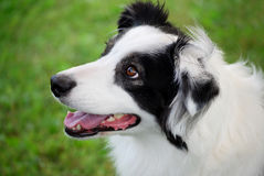 Portrait of a Young Aussie. Portrait of a purebred australian shepherd in 3/4 profile Stock Photos