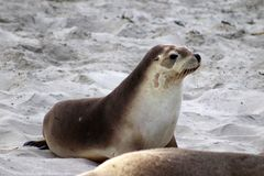 A young australian sea lion on the white beach of the Seal Bay , Kangaroo Island South Australia. Portrait on a Young autralian sea lion on the beach Stock Photography