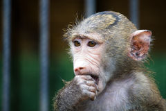 Portrait of young baboon Royalty Free Stock Photos