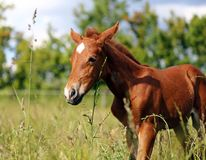 Portrait of young baby horse stock photo