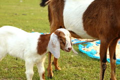 Portrait of young baby and mom goat relax on a green meadow, tha Royalty Free Stock Image