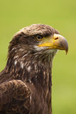Portrait of young bald eagle stock images