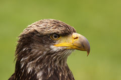 Portrait of a young bald eagle Stock Images