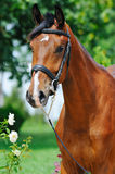 Portrait of young bay horse Stock Images