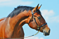 Portrait of young bay horse Stock Photography