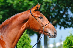 Portrait of young bay stallion Royalty Free Stock Photography