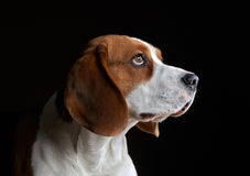 Portrait of young beagle dog Stock Image