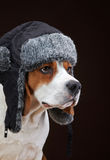 Portrait of young beagle dog Stock Images
