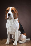 Portrait of young beagle dog Royalty Free Stock Images