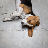 Portrait of young Beagle dog lying on the floor Stock Photos
