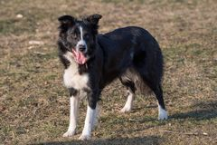 Portrait of young beautiful Border Collie dog outdoor. Close-up view of Border Collie dog outside in the park. Selective focus Royalty Free Stock Images