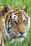 A head of Bengal tiger. A portrait of an young Bengal male tiger Royalty Free Stock Photo