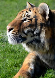 Portrait of a young Bengal Tiger Stock Photos