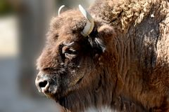 Portrait of a young bison Royalty Free Stock Photos