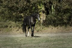 Black horse walking in a meadow royalty free stock photography