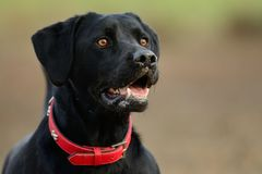 Black Labrador head shot. Portrait of a young black Labrador with a red collar Royalty Free Stock Photo