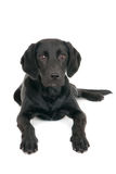 Portrait of a young black labrador Royalty Free Stock Images