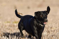Black Labrador running in a field. Portrait of a young black Labrador running through a field of corn stubble Royalty Free Stock Photography