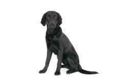 Portrait of a young black labrador stock photo