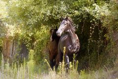 Black stallion in the forest royalty free stock photography
