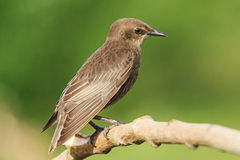 Portrait young black starling sits on a branch Royalty Free Stock Photo