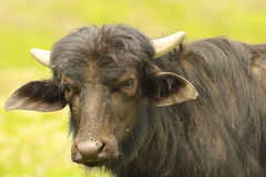 Portrait of young black water buffalo Royalty Free Stock Image