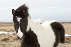 Portrait of a young black white Icelandic pony Royalty Free Stock Images