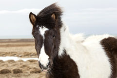 Portrait of a young black white Icelandic pony Royalty Free Stock Photos