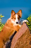 Portrait of young border collie puppy in sunset Stock Photography