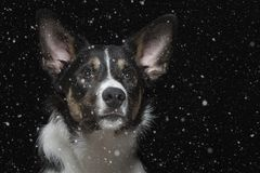 Portrait of a young border collie with snowflakes. Portrait of a young border collie in studio in front of black background Royalty Free Stock Image