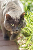 Portrait of young british cat hunting Stock Images