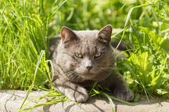 Portrait of young british cat siting in grass Stock Photos