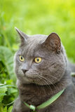 Portrait of young british cat siting in grass Royalty Free Stock Image