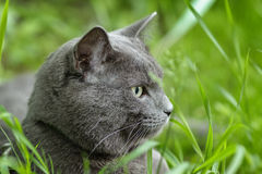 Portrait of young british cat siting in grass Royalty Free Stock Photography