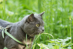 Portrait of young british cat walking in grass Stock Images