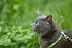 Portrait of young british cat walking in grass Stock Photo