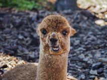 Young alpaca portrait stock images
