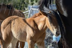Portrait of young brown filly following her mother. With her head hidden from the mother`s tail Stock Photos