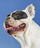 Portrait of young bulldog Royalty Free Stock Photo