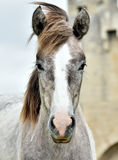 Portrait of the young Camargue Horses Royalty Free Stock Photo