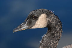 Portrait of young Canada Goose Royalty Free Stock Photography