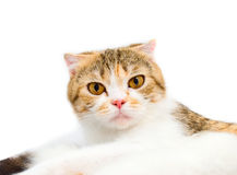 Portrait of a young cat Royalty Free Stock Photography