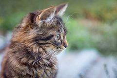 Portrait of a young cat in profile on blurry background_. Portrait of a young cat in profile on blurry background royalty free stock image