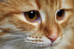 Portrait of a young cat Royalty Free Stock Images
