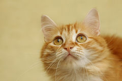Portrait of a young cat Stock Image