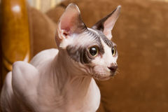 Sphynx Royalty Free Stock Photography