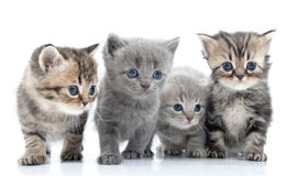 Portrait of young cats' group . Studio shot. . Portrait of group of young Scottish cats . Studio shot stock image